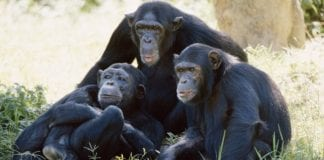 Chimpanzees just like humans know when they are right