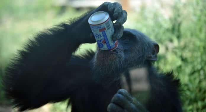 A recent research revealed that Chimpanzees also relish alcohol just like humans