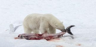 Global warming upon us : Polar bears are eating white-beaked dolphins in the Arctic for the first time