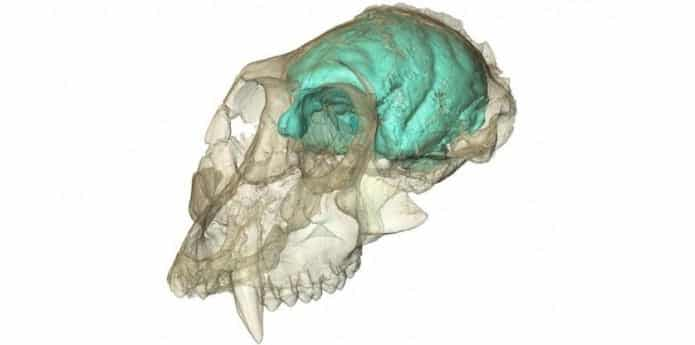 15 Million-Year-Old Monkey Skull exposes infinite Secrets