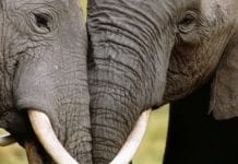 Yahoo Japan Sold 12 Tonnes of Elephant Ivory illegaly and made huge profits