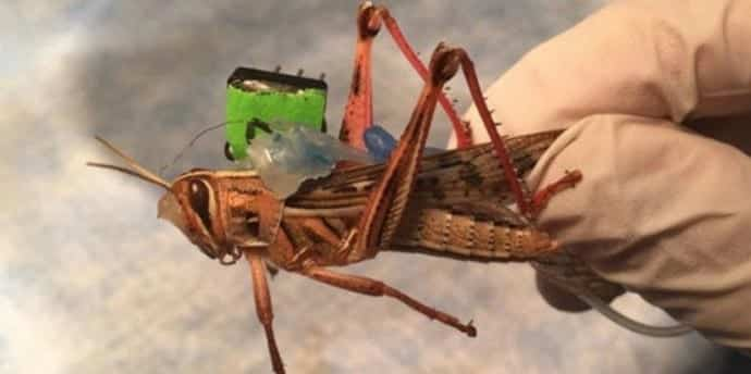 Researchers plan to build cyborg locusts that can detect explosives